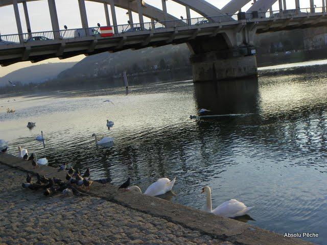 Cygnes, pigeons, canards limite gênants pour la pêche!