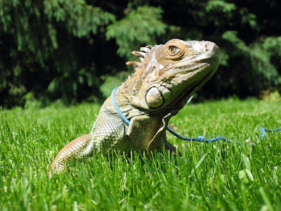 Sprite, the green iguana, on a leash in the backyard