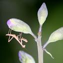 Chinese Mantis (nymph)