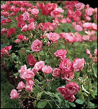 pink simlicity hedge rose