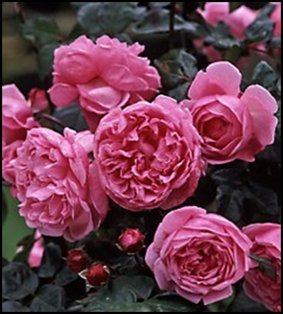 bishop&#39;s caastle english rose