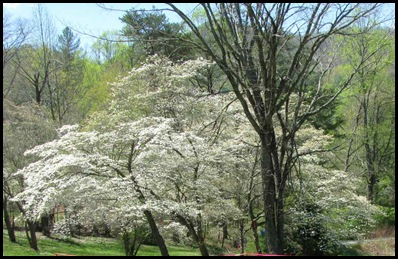 dogwoods2