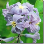 thumb_180_plant_clematis_heracleifolia___wyevale___1_86
