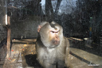 Monkey behind glass in the Zoo of Beijing, China