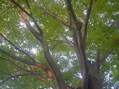 手前桜公園、欅の梢