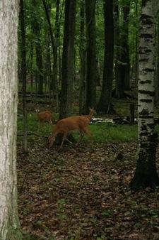 camping deer