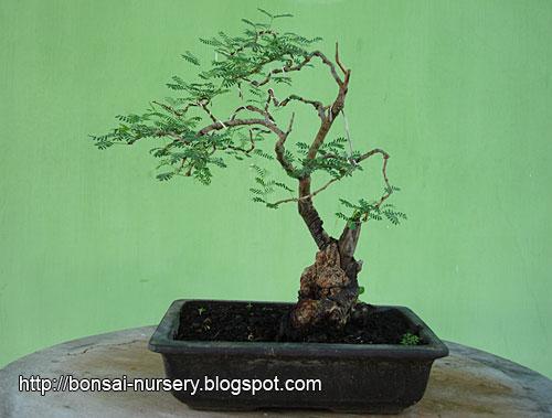 Arabicum sp