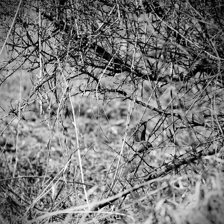 Grünfink täuscht Verletzung vor, um eine Katze vom Nest fernzuhalten