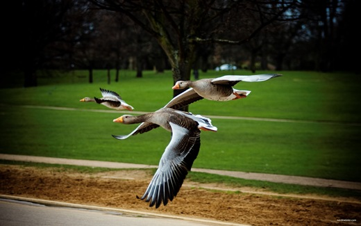 flying geese, London Hyde park