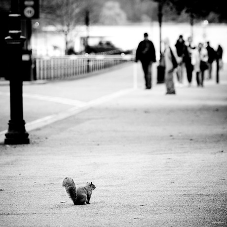 Grey Squirrel, London Hyde Park