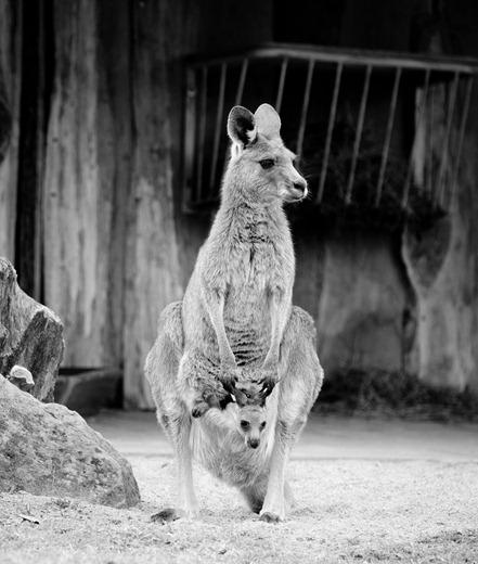 Graues Riesenkänguru im Zoopark Erfurt mit Jungtier