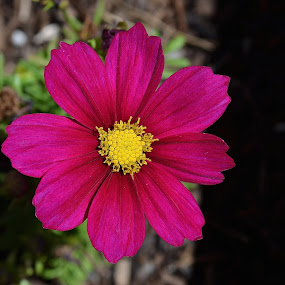 Grand Opening by Ed Hanson - Flowers Single Flower ( red, single, garden, flower )