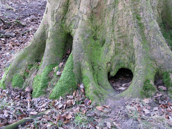 old beech tree trunk