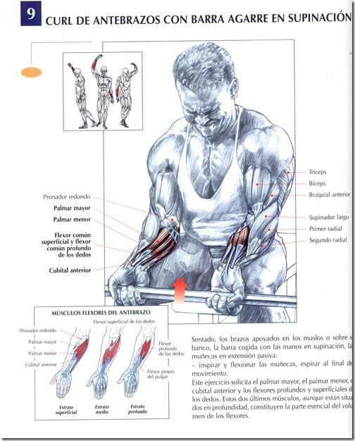 Musculación: Curl de antebrazos con barra agarre en supinación