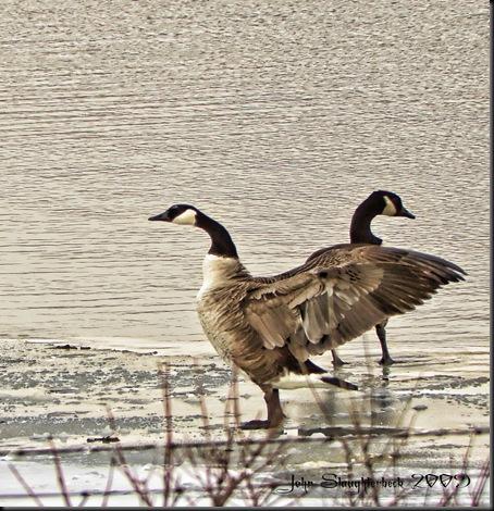 Geese-28-Edit