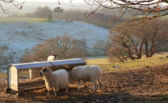 Sheep at Staunton Harold overlooking Dimminsdale