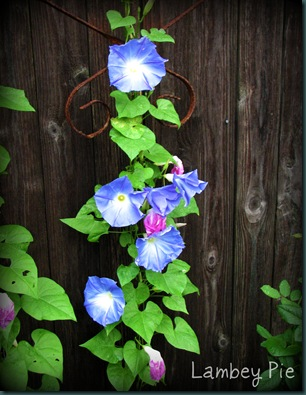 morning glory vine wm.jpeg
