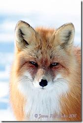 RFox-face1_7267