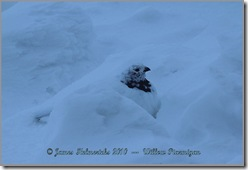Roosting-WillowPtarmigan_0112