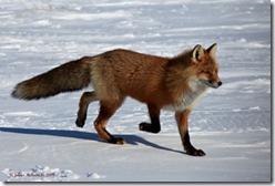 RedFox3sm_0435