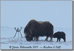 Muskox&Calf-24May10_0407