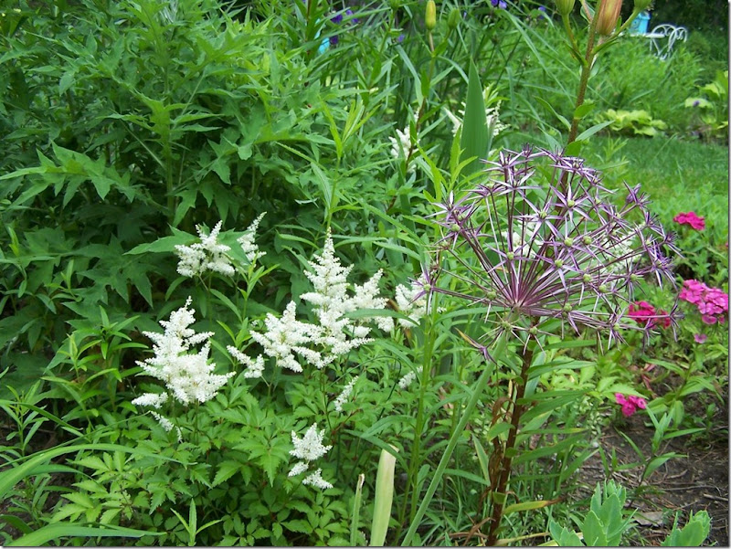 white astilbe allium christopherri (Large)
