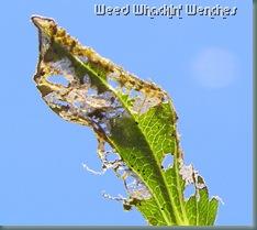 zinnia leaf