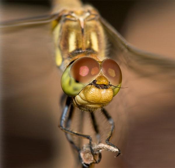 Фасеточные глаза стрекозы