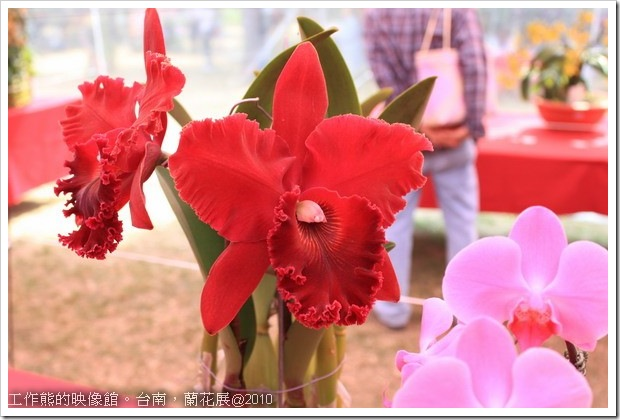 Tainan_orchid18