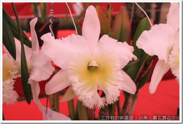 Tainan_orchid20