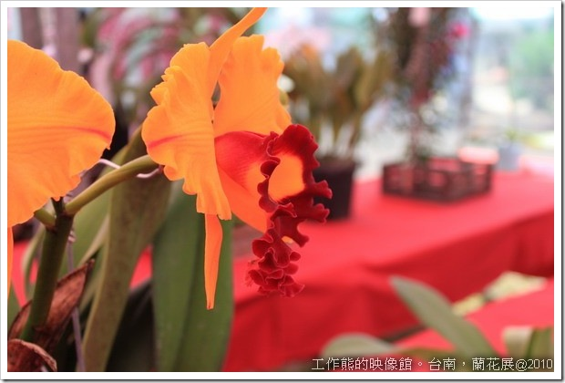 Tainan_orchid22