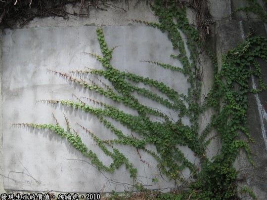 不知道是否有不同的品種?這株「爬牆虎」的青澀模樣呈清脆的綠色,其他的大多是暗綠色或幾乎枯黃了,但我反而喜歡枯黃的景緻,似乎可以從中看出什麼似的讓我著迷。