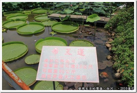 遊記,台南,白河,蓮花,帝王蓮