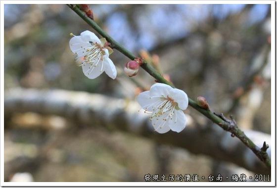 plum_blossom12