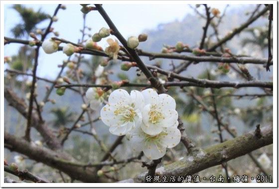 plum_blossom05