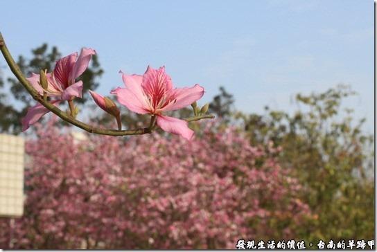 台南羊蹄甲09