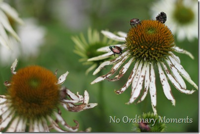 coneflowers and june bugs