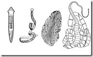 tentang Plathyhelmintes