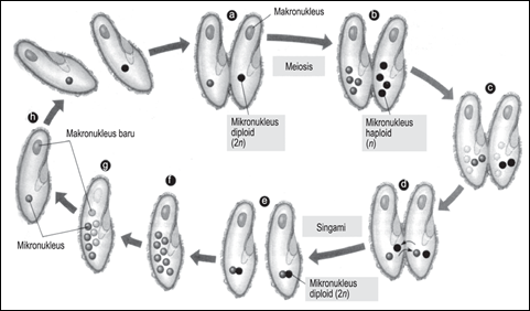 Konjugasi Paramecium