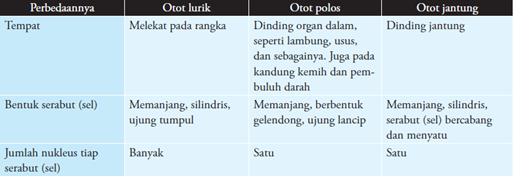Perbedaan Otot Lurik, Otot Polos,Otot Jantung
