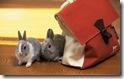 rabbit 24 desktop widescreen wallpaper