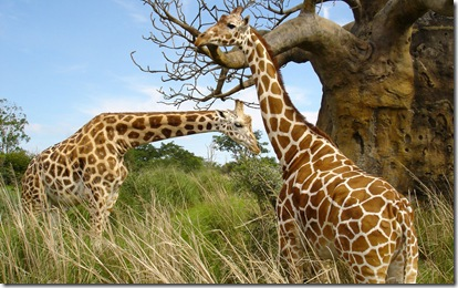 2 Giraffes widescreen desktop wallpaper 2560x1600