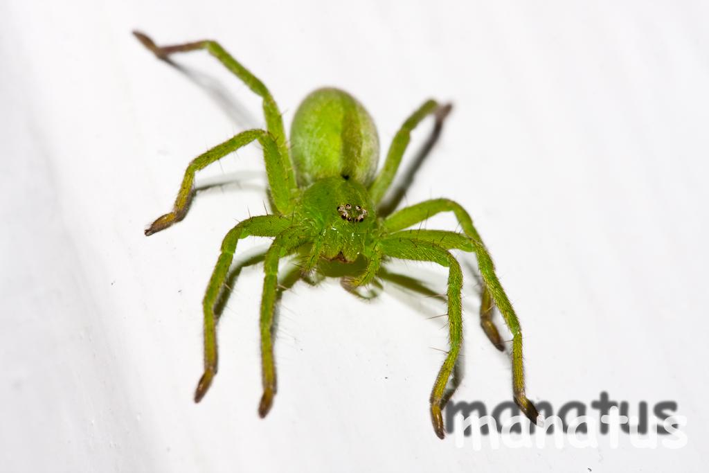 Fotos de una araña verde | manatus foto