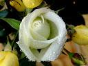 موسوعة رائعة من الورود 24