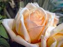 موسوعة رائعة من الورود 34