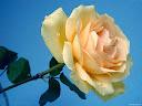 موسوعة رائعة من الورود 46
