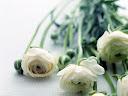 موسوعة رائعة من الورود Flowers-wallpaper%20%2846%29