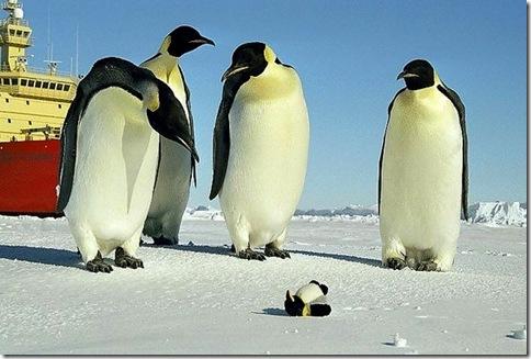企鵝-[趣味圖片] 這是誰家的小孩啊?好可憐!都凍僵了!