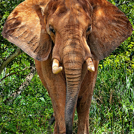 African Elephant by Sandy Friedkin - Animals Other Mammals ( zoo, african, elephant, brown, tusks, large,  )
