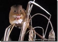 Tikus Padang Rumput (Microtus ochrogaster)